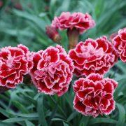 Trà Hoa Cẩm Chướng Siêu Thị Thiên Nhiên