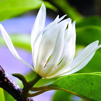 Trà Hoa Ngọc Lan 1 Kg (Hoa Ngọc Lan Sấy Khô)