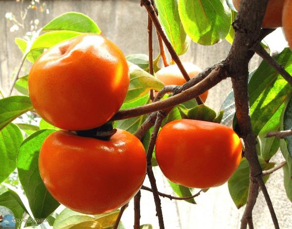 Cây hồng chuẩn bị thu hoạch