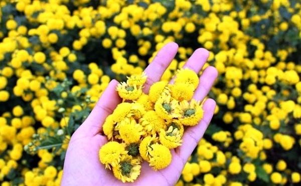 Hoa Cúc Tuyển Chọn