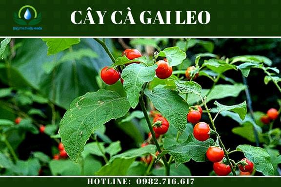 ca-gai-leo-say-kho