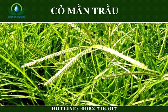 co-man-trau-say-kho-2