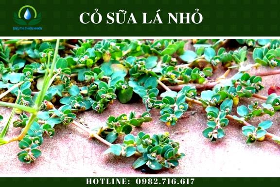 co-sua-la-nho-say-kho-2