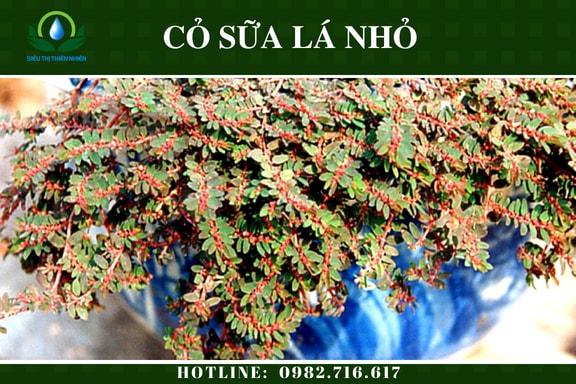 co-sua-la-nho-say-kho
